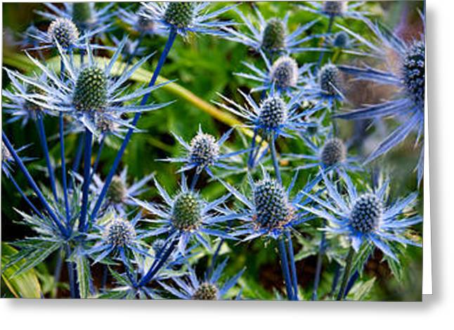 Blue Thistles Greeting Cards - Close-up Of Blue Thistle Flowers Greeting Card by Panoramic Images