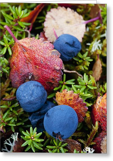 Harts Greeting Cards - Close Up Of Blueberries Amongst Fall Greeting Card by Cathy Hart