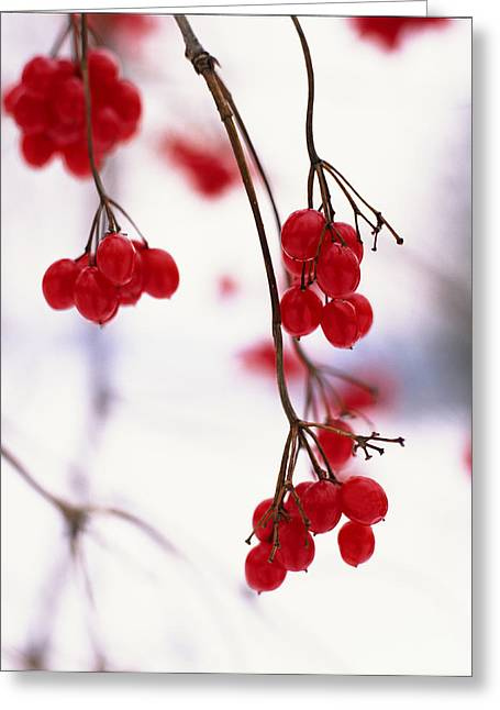 Berry Greeting Cards - Close-up Of Branches With Red Berries Greeting Card by Ink and Main
