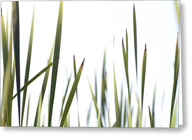 Green Blade Of Grass Greeting Cards - Close-up Of Cattail Grass Typha Greeting Card by Panoramic Images