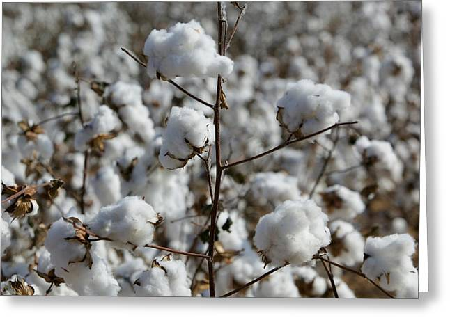Close-up Of Cotton Plants In A Field Greeting Card by Panoramic Images