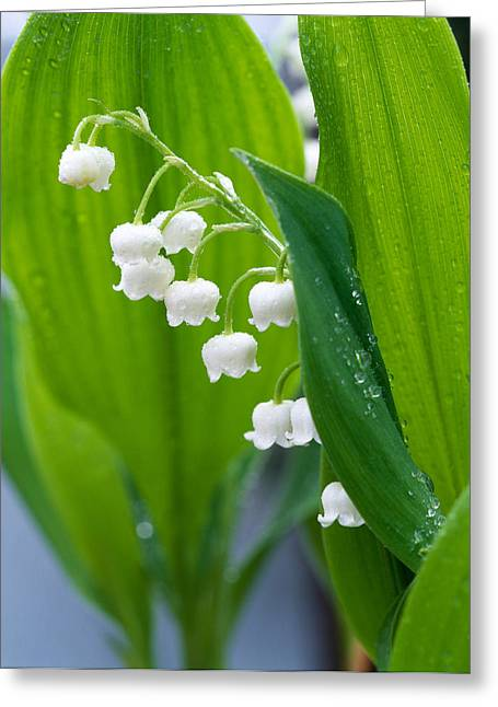 Tepals Greeting Cards - Close-up Of Dew Drops Greeting Card by Panoramic Images