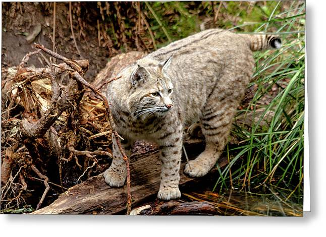 Close Up Of Wild Bobcat Greeting Card by Teri Virbickis