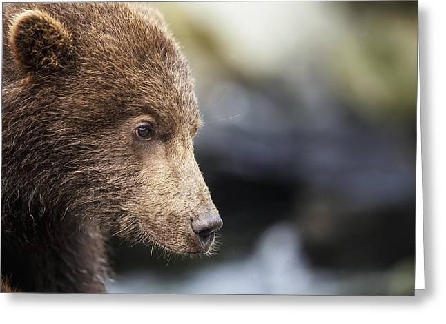 Close Focus Nature Scene Greeting Cards - Close-up Portrait Of Coastal Brown Bear Greeting Card by Paul Souders