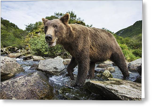 Fishing Creek Greeting Cards - Close-up View Of Coastal Brown Bear Greeting Card by Paul Souders