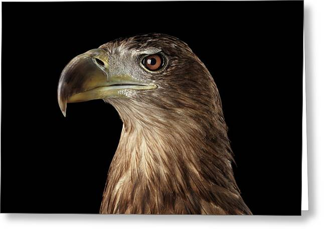 Close-up White-tailed Eagle, Birds Of Prey Isolated On Black Background Greeting Card by Sergey Taran