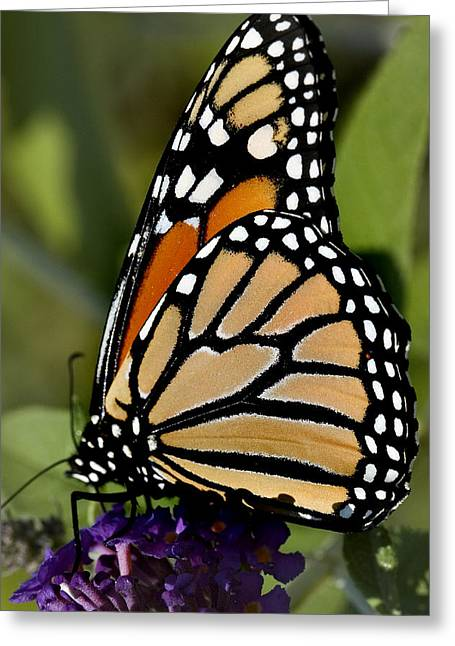 Danaus Plexippus Greeting Cards - Close View Of A Monarch Butterfly Greeting Card by Todd Gipstein