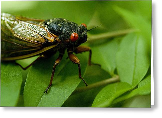 Cicada Greeting Cards - Close View Of A Red-eyed Cicada Sitting Greeting Card by Todd Gipstein
