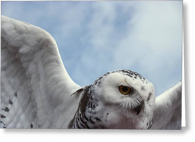 Northwest Territories Greeting Cards - Close View Of A Snowy Owl In Flight Greeting Card by Paul Nicklen