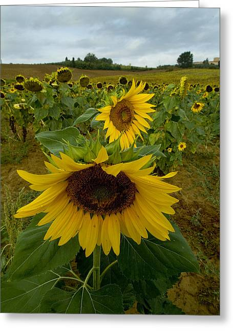 Chianti Greeting Cards - Close View Of A Sunflower At The Edge Greeting Card by Todd Gipstein