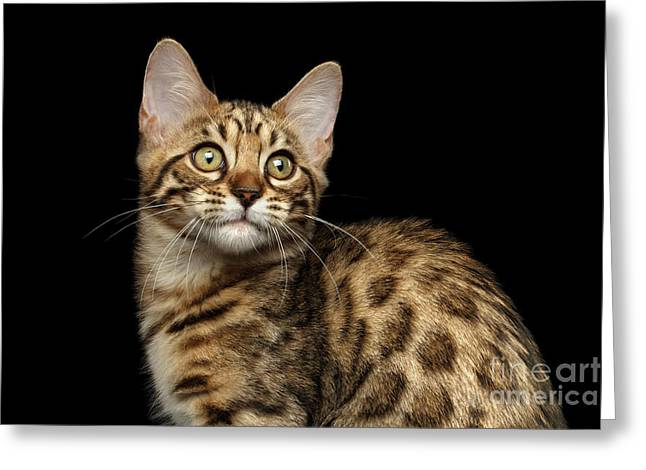 Closeup Bengal Kitty On Isolated Black Background Greeting Card by Sergey Taran