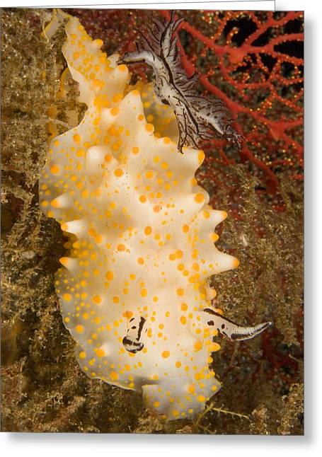 Nudibranch Greeting Cards - Closeup Detail Of Nudibranch Halgerda Greeting Card by Tim Laman