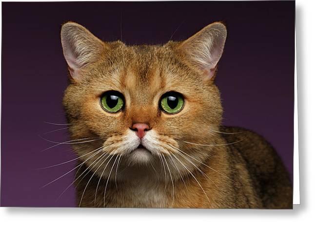 Closeup Golden British Cat With  Green Eyes On Purple  Greeting Card by Sergey Taran