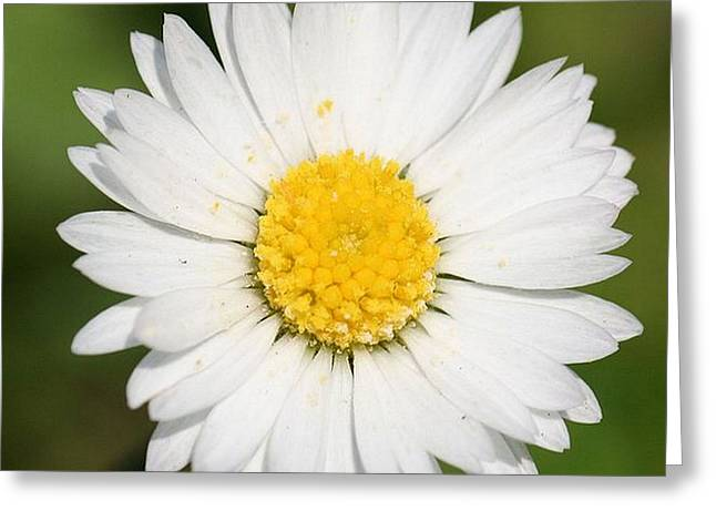 Closeup Of A Beautiful Yellow And White Daisy Flower Greeting Card by Tracey Harrington-Simpson