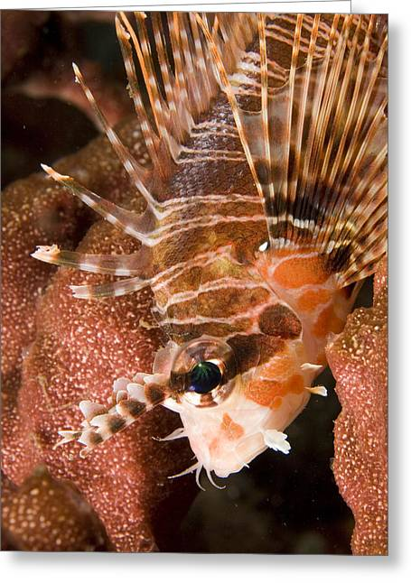 Lionfish Greeting Cards - Closeup Of A Lionfish Greeting Card by Tim Laman