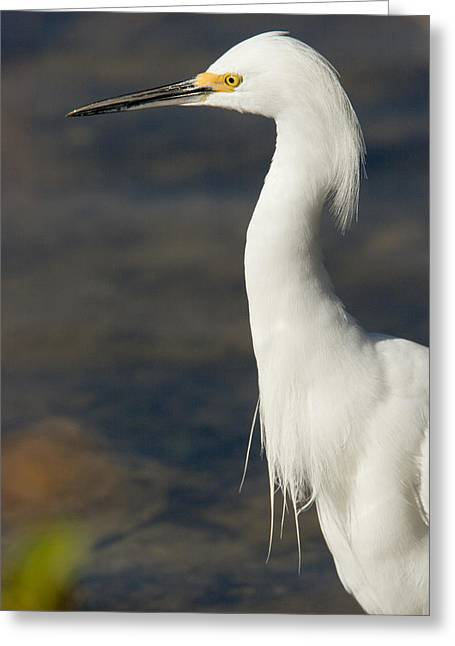 Egretta Thula Greeting Cards - Closeup Of A Snowy Egret Egretta Thula Greeting Card by Tim Laman