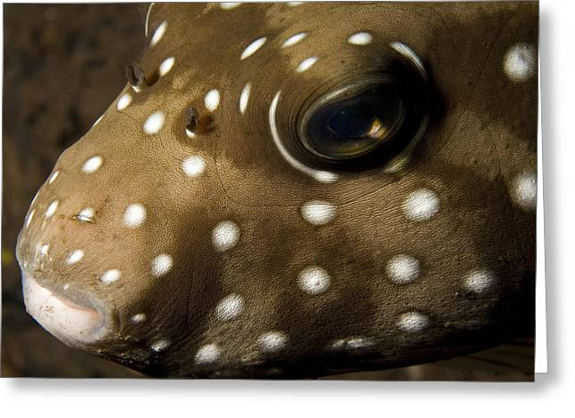 Puffer Greeting Cards - Closeup Of A Whitespotted Puffer Greeting Card by Tim Laman