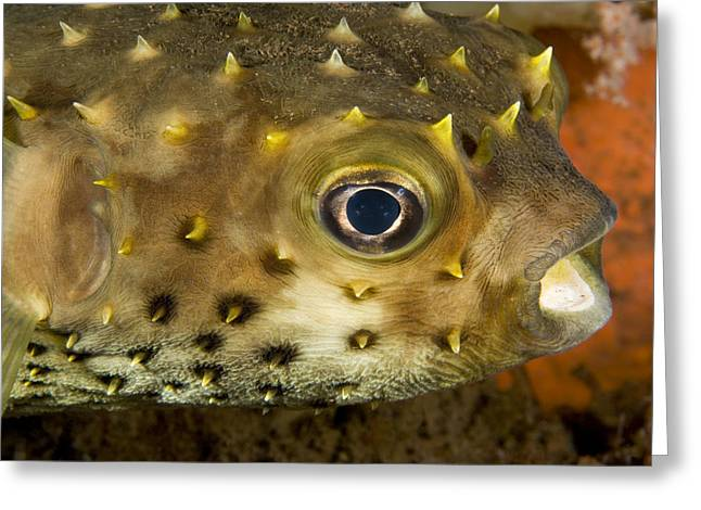 Closeup Of A Yellowspotted Burrfish Greeting Card by Tim Laman