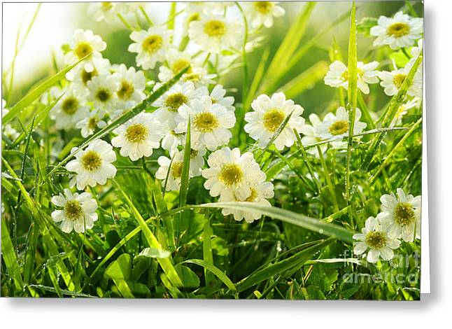 Closeup Of Daisies In Field Greeting Card by Sandra Cunningham