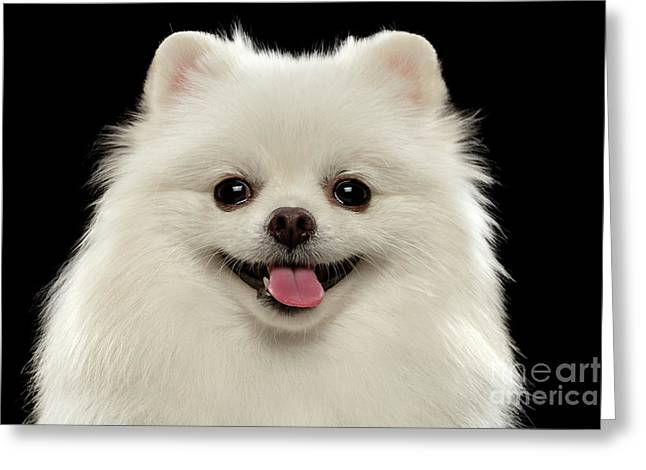 Closeup Portrait Of  White Spitz Dog On Black  Greeting Card by Sergey Taran
