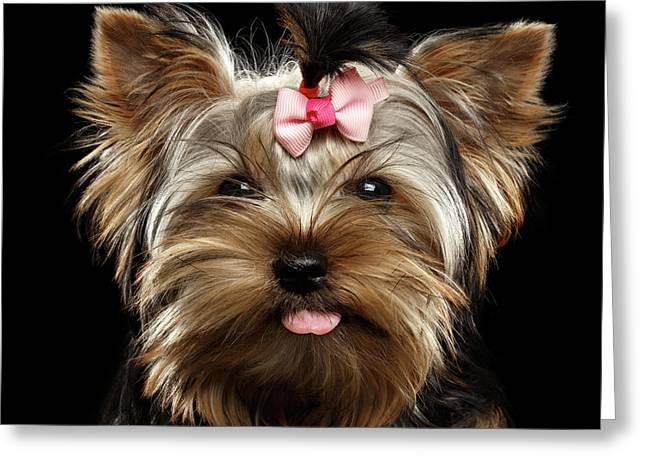 Closeup Portrait Of Yorkshire Terrier Dog On Black Background Greeting Card by Sergey Taran