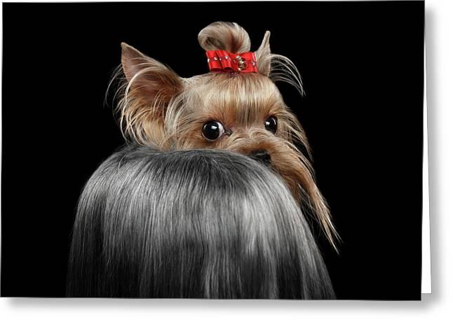 Closeup Yorkshire Terrier Dog, Long Groomed Hair Pity Looking Back Greeting Card by Sergey Taran