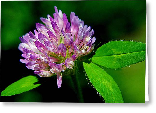 Clover Greeting Card by Frozen in Time Fine Art Photography