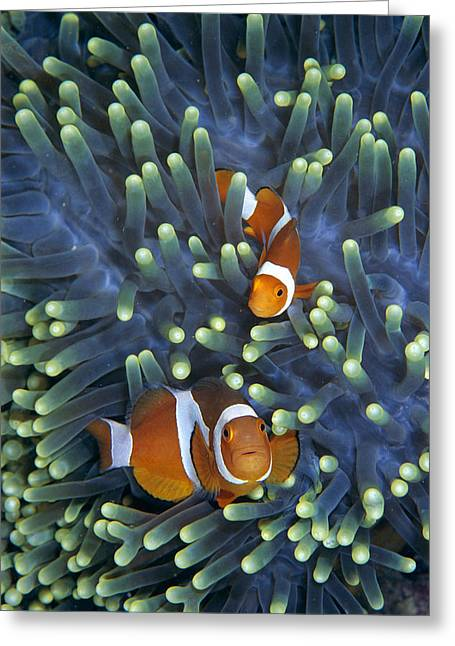 Sea Anemone Greeting Cards - Clown Anemonefish Amphiprion Ocellaris Greeting Card by Hiroya Minakuchi