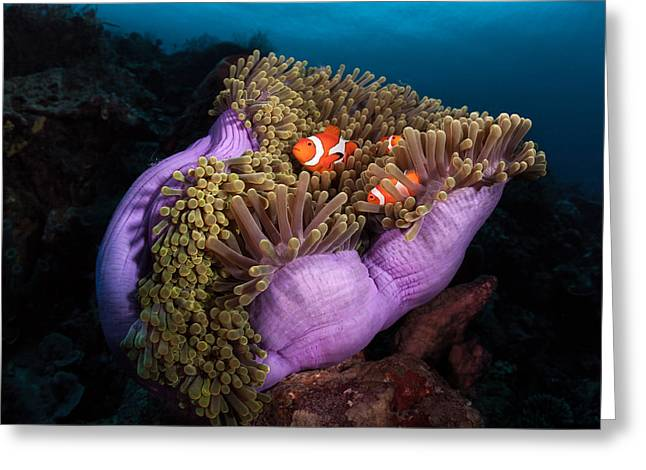 Magnificent Photographs Greeting Cards - Clown Fish With Magnificent Anemone Greeting Card by Marco Fierli