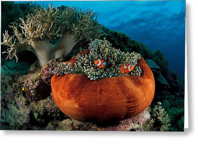 Damselfish Greeting Cards - Clownfish Burrow In The Tentacles Greeting Card by David Doubilet