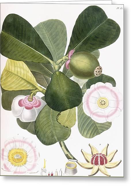 Clusia Rosea Greeting Card by Pierre Antoine Poiteau