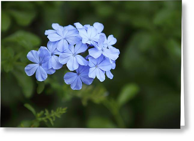 Phlox Greeting Cards - Cluster of Blue Phlox Greeting Card by Linda Phelps