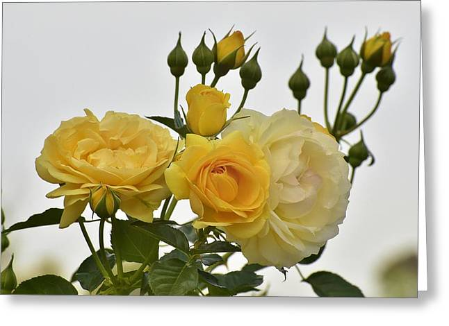 Green And Yellow Greeting Cards - Cluster of Yellow Roses Greeting Card by Linda Brody