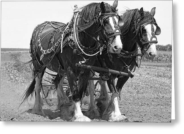 Clydesdale Plow Team Greeting Card by Daniel Hagerman