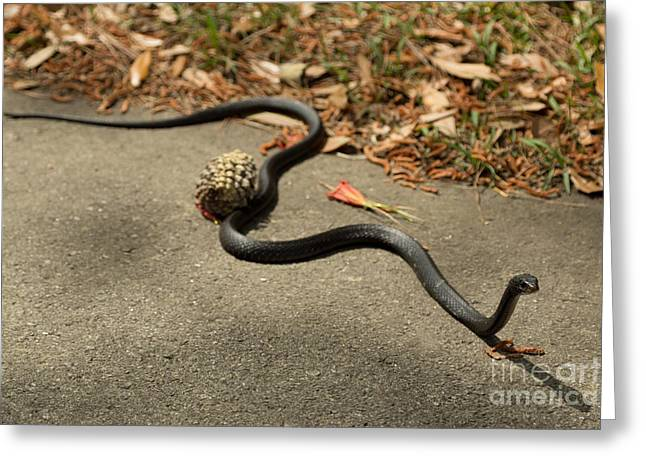 Whip-snake Greeting Cards - Coachwhip Greeting Card by Stephen Allen