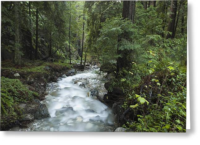 Species: S. Sempervirens Greeting Cards - Coast Redwood Forest Big Sur California Greeting Card by Sebastian Kennerknecht