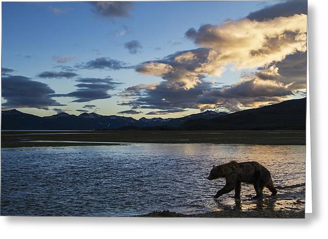 Coastal Brown Bear  Ursus Arctos  Walks Greeting Card by Paul Souders