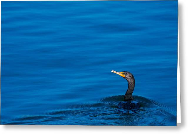 Coastal Cormorant Greeting Card by Karol Livote