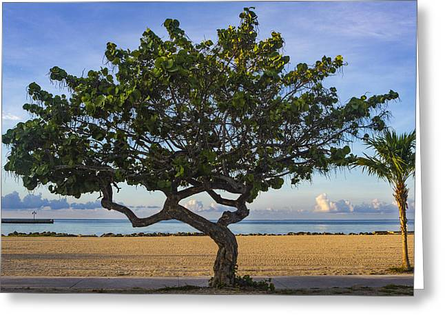 Blue Grapes Greeting Cards - Sea Grape Tree Greeting Card by Mike Harlan