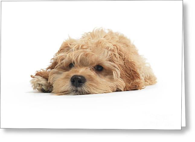 Cockapoo Dog Isolated On White Background Greeting Card by Oleksiy Maksymenko