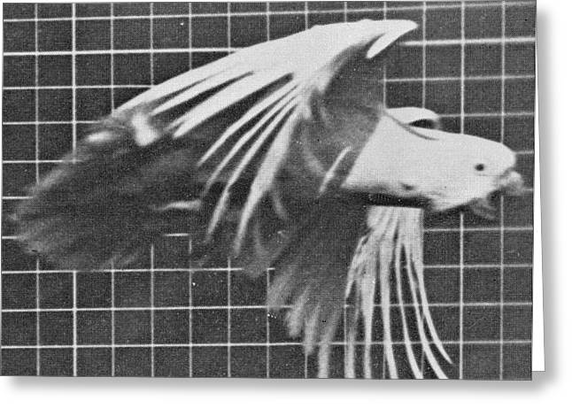 Sequential Greeting Cards - Cockatoo in flight Greeting Card by Eadweard Muybridge