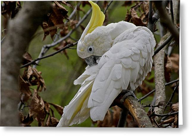White Cockatoo Greeting Cards - Cockatoo Greeting Card by Odd Jeppesen