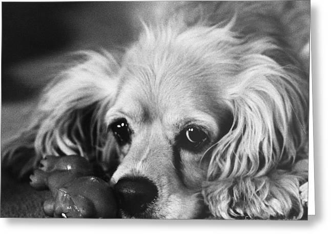 Toy Dog Greeting Cards - Cocker Spaniel With Dog Toy Greeting Card by Lynn Lennon