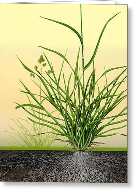 Orchard Drawings Greeting Cards - Cocksfoot or Orchard Grass Dactylis glomerata - Root System - Da Greeting Card by Urft Valley Art