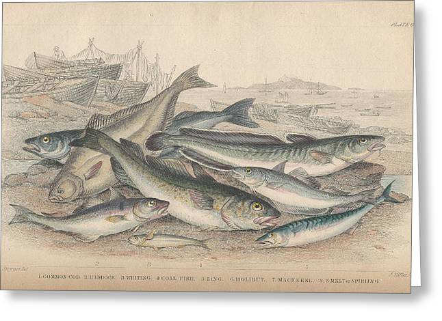 Mackerel Greeting Cards - Cod and Halibut Greeting Card by Oliver Goldsmith