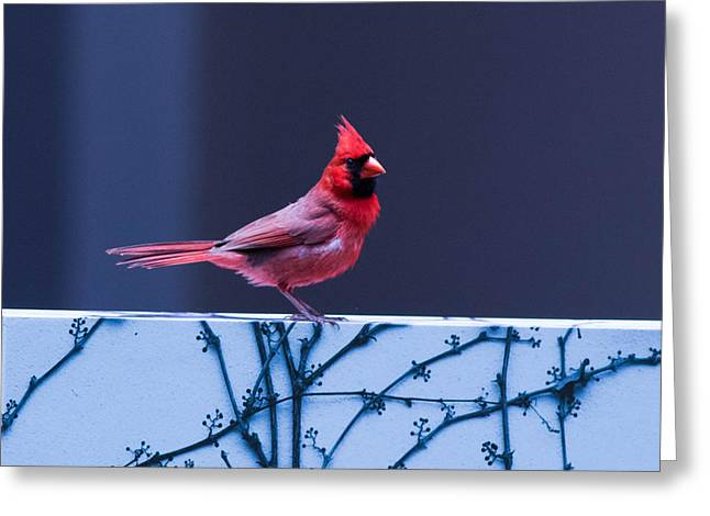 Sit-ins Greeting Cards - Cold Cardinal Greeting Card by Ross Stewart