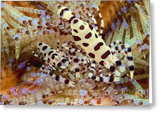 Coleman Shrimp Greeting Cards - Coleman Shrimp Greeting Card by Dave Fleetham - Printscapes