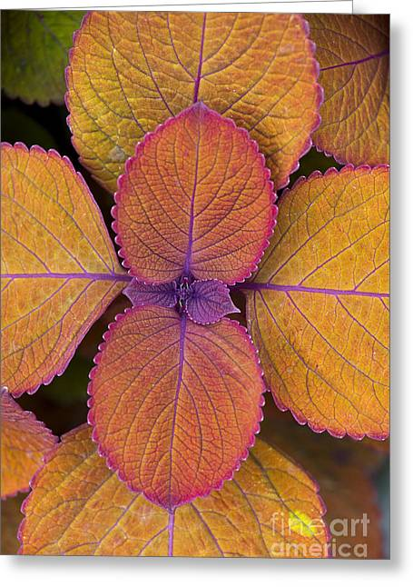 Campfire Greeting Cards - Coleus Campfire Greeting Card by Tim Gainey