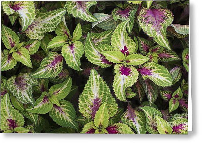 Coleus Rose Lime Magic Greeting Card by Tim Gainey