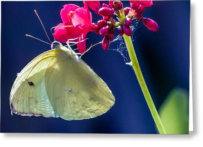 Invertebrates Greeting Cards - Colias philodice Greeting Card by Rob Sellers